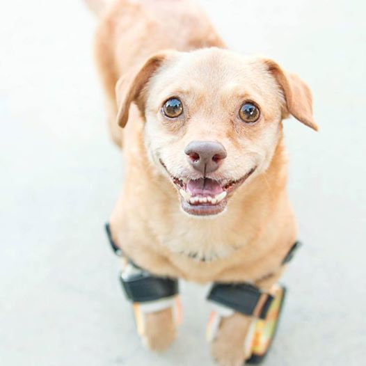 Disabled Dog Learns To Run With Prosthetic Legs