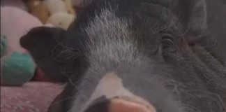 Arizona Family Wins Right To Keep Comfort Pig