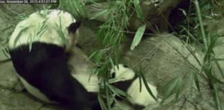 Giant Panda Cub Takes First Steps