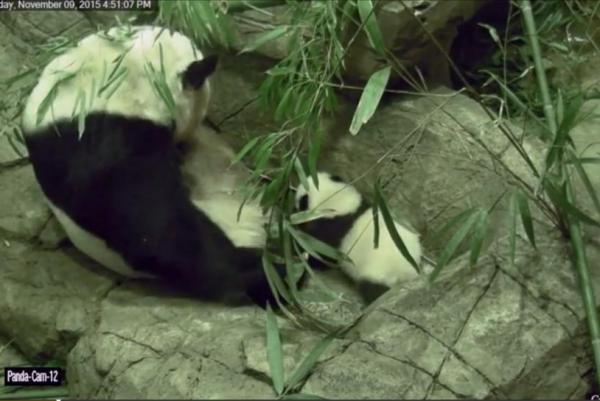 Giant Panda Cub Takes First Steps
