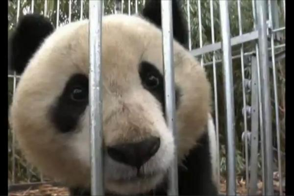 Giant Panda Released In China