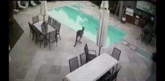 Kangaroo-takes-a-dip-in-Australian-familys-swimming-pool