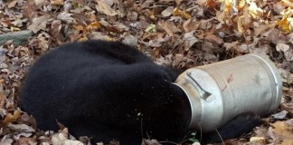 Maryland Wildlife Officers Help 'Winnie-The-Pooh' Impersonating Bear