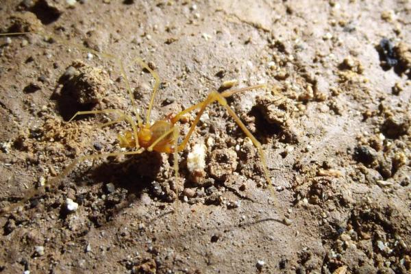 New-eyeless-harvestman-species-named-for-Tolkiens-Smeagol