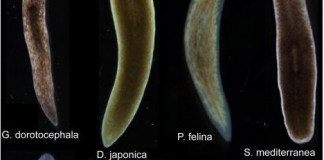 Scientists Induce Flatworms To Grow