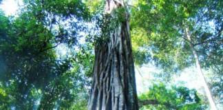 Half Of Amazonian Tree Species Threatened