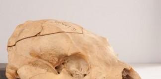 Winnie-The-Pooh's Skull On Display