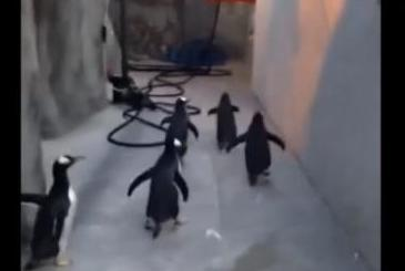 Zoo-penguins-unsuccessful-in-Madagascar-style-escape-attempt