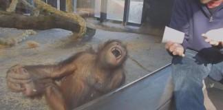 Barcelona Zoo Orangutan