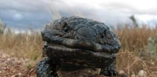 Bobtail Lizards
