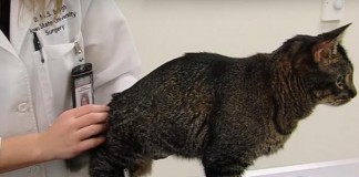 Cat Receives Prosthetic Leg