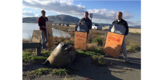 Elephant Seal Determined To Cross California Highway