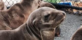 Sea Lions Suffering Brain Damage
