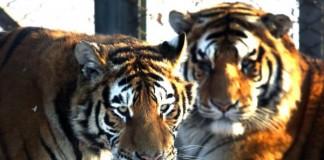 What Controls Animal Stripes