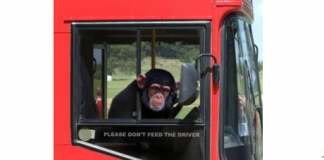 Joyriding Monkey Steals Bus
