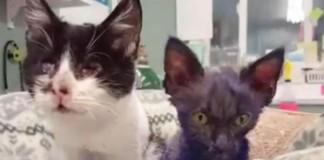 Bluish-Purple Dyed 'Smurf Kitten'