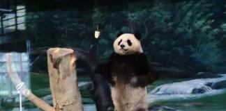 Panda Dubbed 'Kung-Fu Panda'