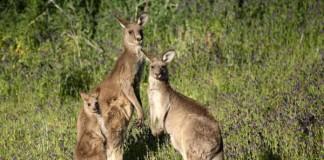 'Mourning' Kangaroo