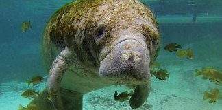 Removing Florida Manatee From 'Endangered Species'