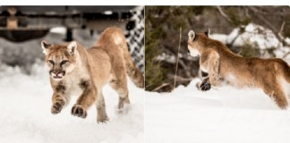 Heber Cougar