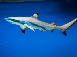 Live Blacktip Shark