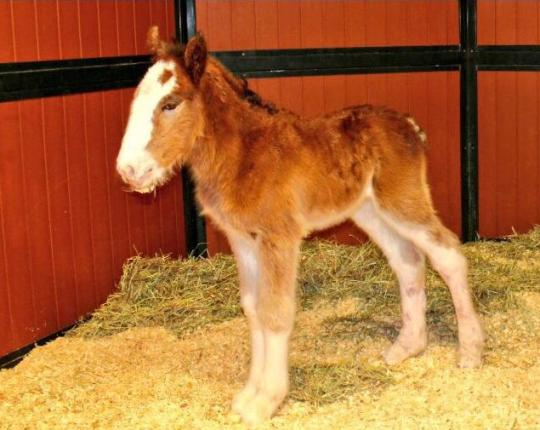 First Budweiser Clydesdale Born In 2016
