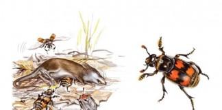 Female Burying Beetles