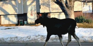 Moose Is Spotted Outside Centerville Elementary