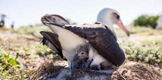 Laysan Albatross Hatches