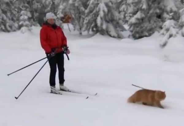 Norwegian Cat