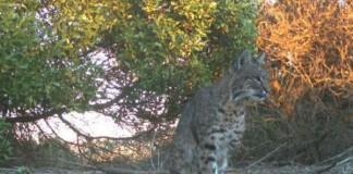 Three-Legged Bobcat