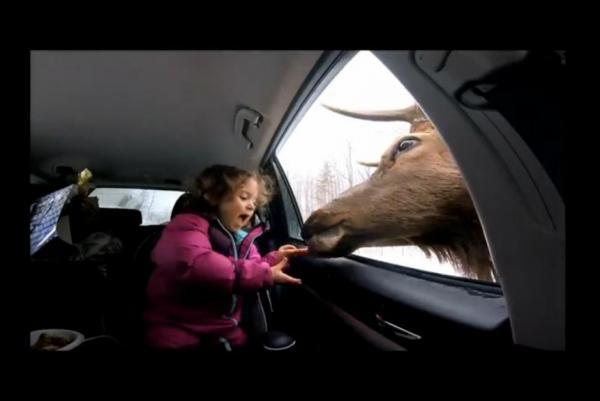 Deer Pokes Head In Car