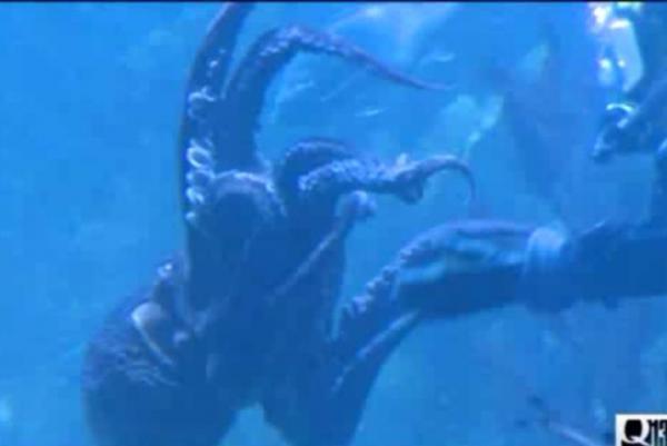 Octopus Mating Display