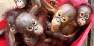 Orphaned Orangutan Babies