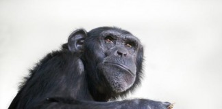 Common Ancestor Of Chimpanzees