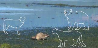 Raccoon Study