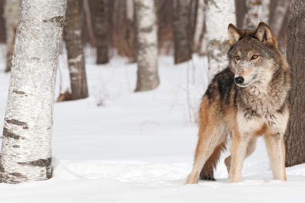Gray Wolf Was Killed