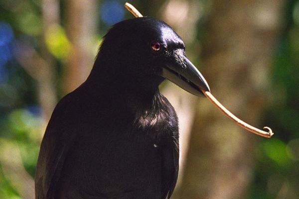 Caledonian Crow