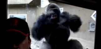 Gorilla-disapproves-of-selfie-taking-man-charges-glass-wall