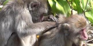 Female Monkeys