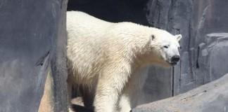 Polar Bear Escapes