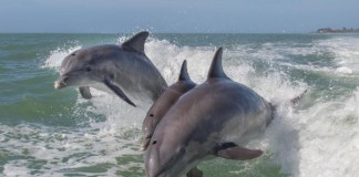 Dolphin 'Stampede'