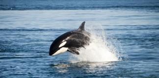 SeaWorld Stops Orca Breeding