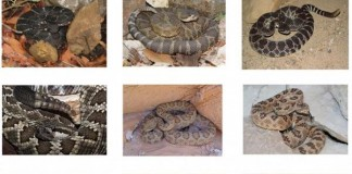 New Rattlesnake Species