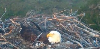 Bald Eagle Chicks Hatching