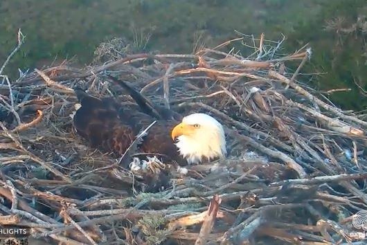 Bald Eagle Chicks Hatching