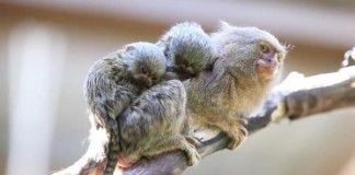 Smallest Monkeys