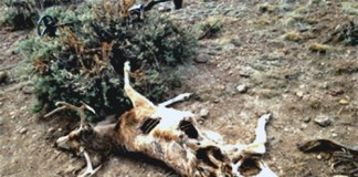mule deer-poach1