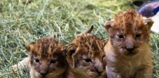 Lion Cubs Born