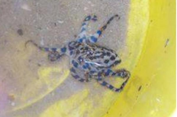 Children-find-deadly-octopus-inside-tennis-ball-in-Australia